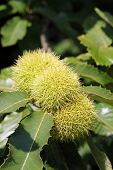 Young chestnuts