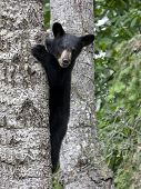 picture of bear-cub  - Cute little black bear cub climbing a tree - JPG
