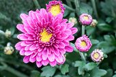 image of chrysanthemum  - Chrysanthemums awaken ... a big bunch of flowers with beautiful yellow and purple chrysanthemums ** Note: Soft Focus at 100%, best at smaller sizes - JPG