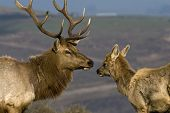Male Elk with calf