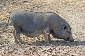 foto of pot-bellied  - Pot bellied pig looking for food in the dirt - JPG