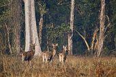 Group Of Swamp Deer In Nepal