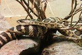 Northern Pacific Rattlesnake Crotalus oreganus rattle snake