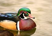 foto of ducks  - Wood duck Male Carolina duck ducks Aix sponsa - JPG