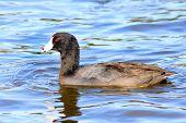 Coot water bird Fulica Duck