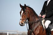 stock photo of saddle-horse  - portrait of brown sport horse during horse competition