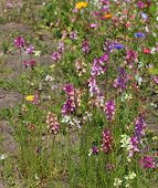 picture of legume  - A variety of colorful fabaceae/legume flowers besides the street. ** Note: Soft Focus at 100%, best at smaller sizes - JPG