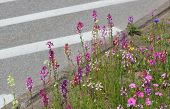 stock photo of legume  - A variety of colorful fabaceae/legume flowers besides the street. The image symbolizes contrasts between an urban setting and nature. ** Note: Soft Focus at 100%, best at smaller sizes - JPG