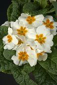 foto of primrose  - particular of  some white primroses in a small vase - JPG