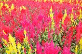 foto of celosia  - Colorful plumed cockscomb flower or Celosia argentea blossom