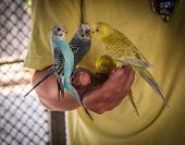 Parrots Pecking Seeds From The Hand, Koh Samui, Thailand