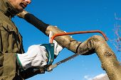 picture of sawing  - Man pruning peach - JPG