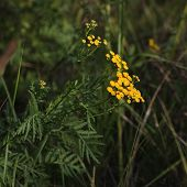stock photo of tansy  - Blossoms of common tansy  - JPG