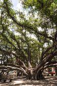 The Banyan Tree in Lahaina, Hawaii