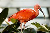 stock photo of scarlet ibis  - scarlet ibis bird eudocimus ruber  - JPG