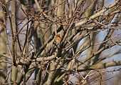 picture of robin bird  - A bird robin alone on the tree - JPG