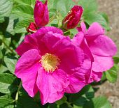 stock photo of dog-rose  - the two beautiful pink Dog - JPG