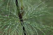 image of horsetail  - Leaf node of a wood horsetail  - JPG