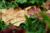 Oak fallen leaf on green grass