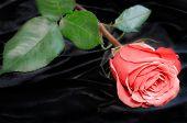bright beautiful  pink rose