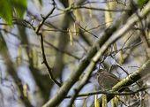 stock photo of mockingbird  - Greenfinch spotted in National Botanic Gardens Dublin Ireland - JPG