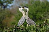 Great Blue Heron In The Nest With Chicks
