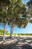 Sunny Vineyard, Shady Trees