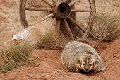 picture of badger  - American badger  - JPG