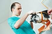 male veterinarian surgeon worker treating examining west terrier dog in veterinary surgery clinic