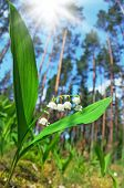 Lilies of the valley in the spring forest