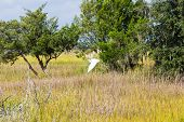 Snowy Egret Flying Over Marsh