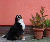 pic of century plant  - Bernese mountain dog besides potted plants and in front of an orange house wall - JPG