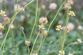 White Narrowleaf Zinnia Or Classic Zinnia Flower