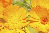 Calendula - Marigold Flowers