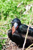 pic of mating animal  - galapgagos island red throated frigate birds during mating season - JPG