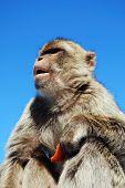 Barbaby Ape, Gibraltar.