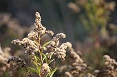 stock photo of goldenrod  - Giant Goldenrod (Solidago gigantea) inflorescence with fruits. ** Note: Shallow depth of field - JPG