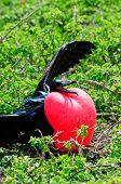 stock photo of mating animal  - galapgagos island red throated frigate birds during mating season  - JPG