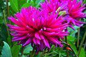 beautiful dahlia flowers in garden