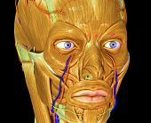 pic of facial  - The facial muscles are a group of striated skeletal muscles innervated by the facial nerve that - JPG