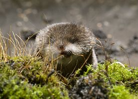 picture of shrew  - Portrait in front of a small shrews with clearly visible widely spaced whiskers - JPG
