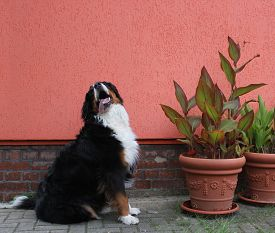 stock photo of century plant  - Bernese mountain dog besides potted plants and in front of an orange house wall - JPG