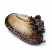 stock photo of mollusca  - Anodonta  - JPG