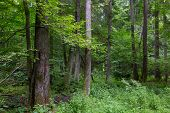 stock photo of alder-tree  - Old alder and spruce trees of Bialowieza Forest in summer - JPG
