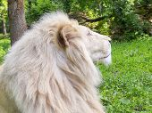 picture of leo  - Portrait of a White South African lion  - JPG