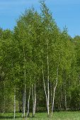 pic of birching  - Beautiful natural background with long thin birch trees with green leaves in a birch grove - JPG
