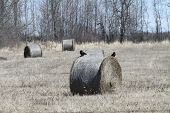 stock photo of hay bale  - Crows on top of round hay bales in a field - JPG