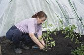 stock photo of tomato plant  - Woman gardener seedlings are planted tomatoes in the greenhouse - JPG