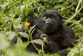 Mountain Gorilla Vegetarian