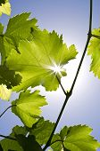 stock photo of vines  - The sun shines through the leaves of vine - JPG